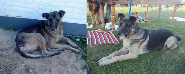 Cães resgatados - Antes e Depois (17)