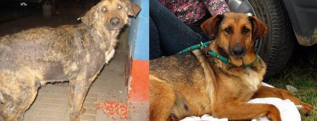 Cães resgatados - Antes e Depois (20)