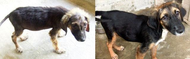 Cães resgatados - Antes e Depois (3)