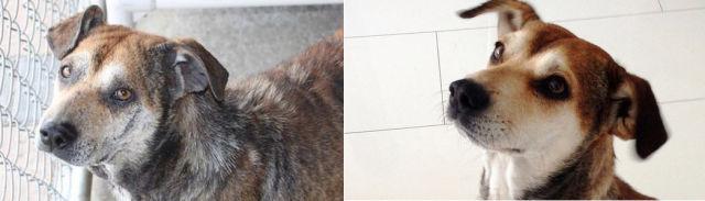 Cães resgatados - Antes e Depois (5)