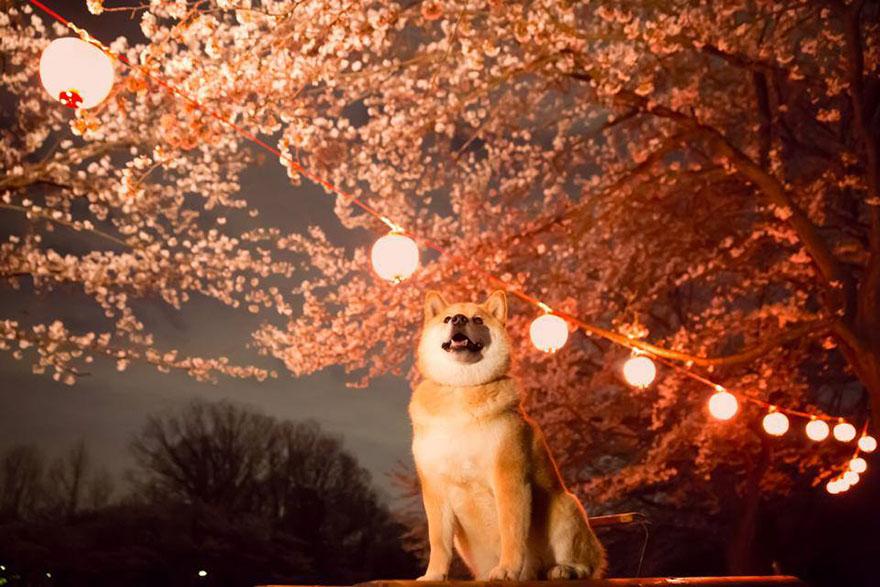 Conheça Maru, o cão mais sorridente do mundo (11)
