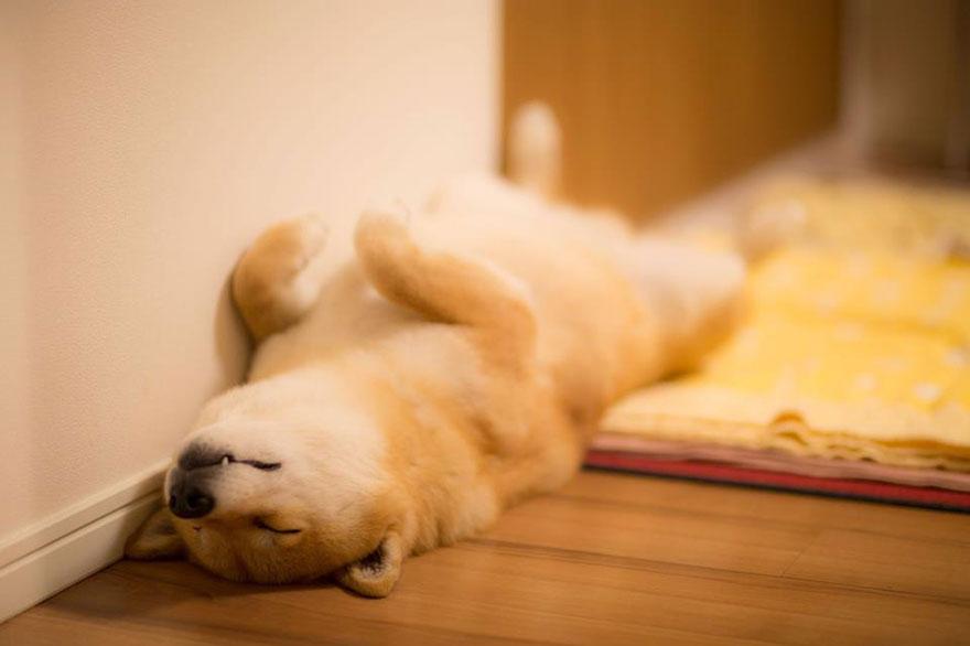 Conheça Maru, o cão mais sorridente do mundo (12)
