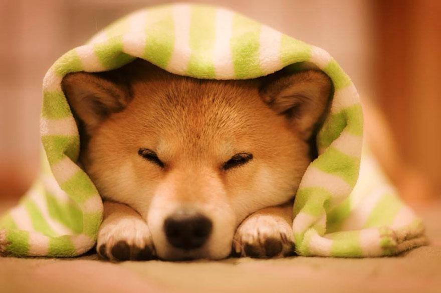 Conheça Maru, o cão mais sorridente do mundo (14)