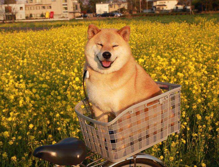 Conheça Maru, o cão mais sorridente do mundo (15)