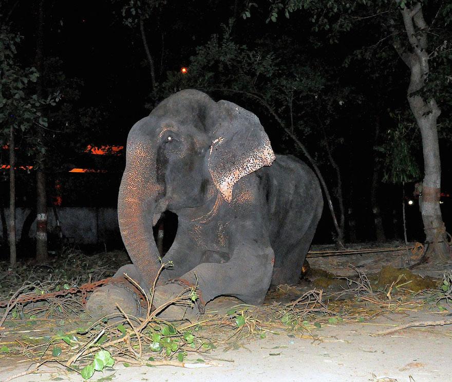 Elefante-chora-de-alegria-ao-ser-resgatado-após-50-anos-de-cativeiro  (10)