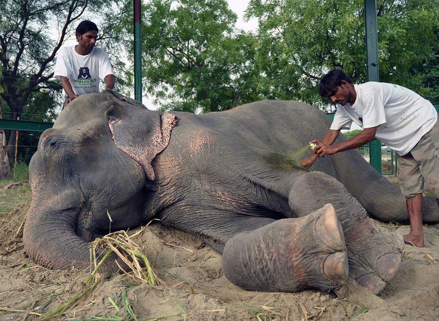 Elefante-chora-de-alegria-ao-ser-resgatado-após-50-anos-de-cativeiro  (12)