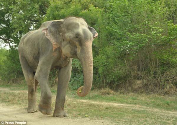 Elefante-chora-de-alegria-ao-ser-resgatado-após-50-anos-de-cativeiro  (2)