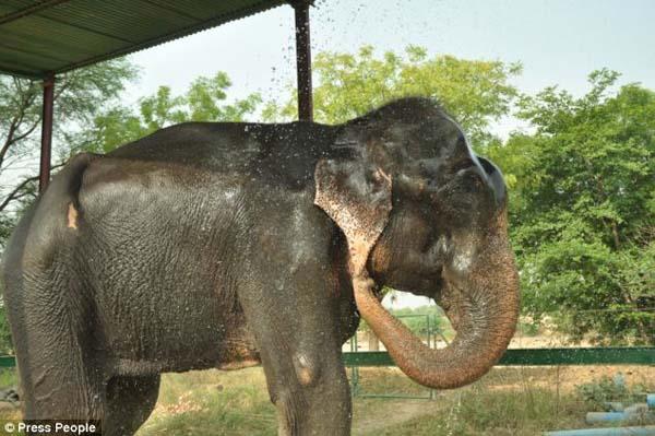 Elefante-chora-de-alegria-ao-ser-resgatado-após-50-anos-de-cativeiro  (3)