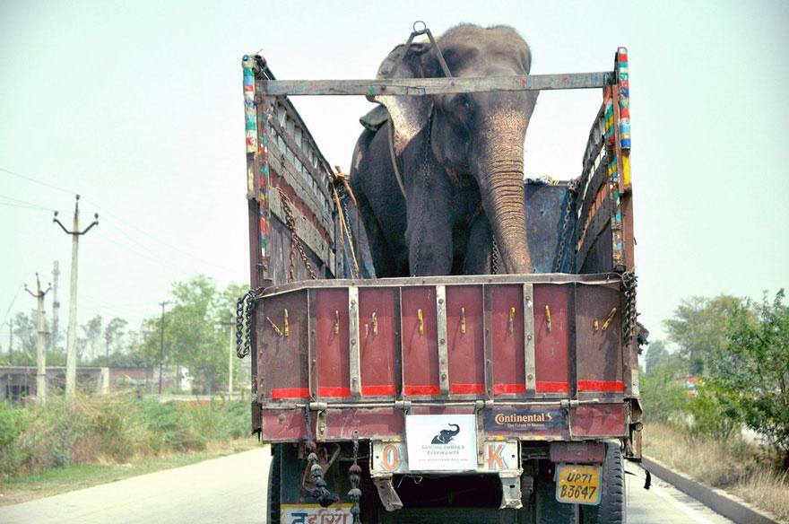 Elefante-chora-de-alegria-ao-ser-resgatado-após-50-anos-de-cativeiro  (9)
