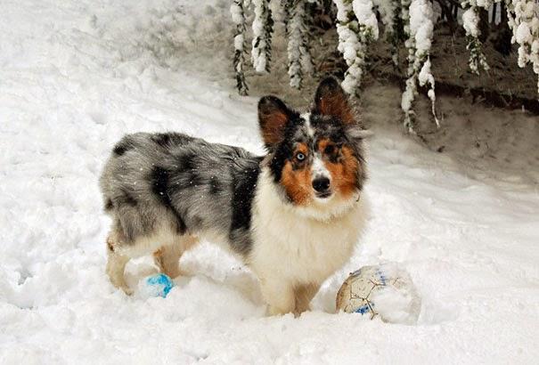 Fantásticos-cruzamentos-entre-raças-de-cães-Blog-Animal (12)