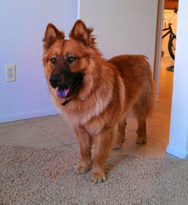 Fantásticos-cruzamentos-entre-raças-de-cães-Blog-Animal (13)