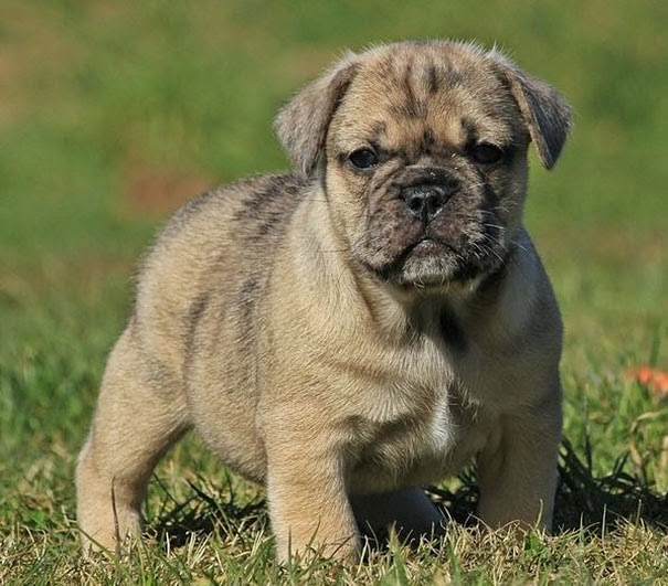 Fantásticos-cruzamentos-entre-raças-de-cães-Blog-Animal (14)