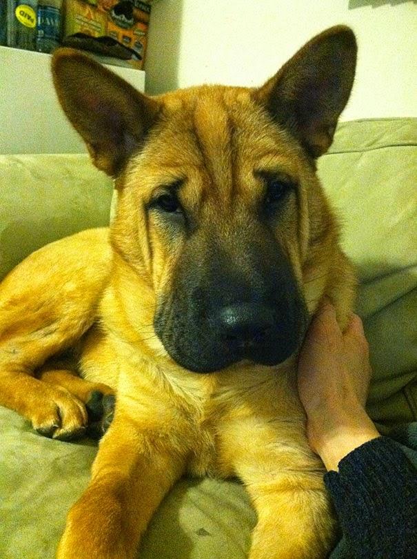 Fantásticos-cruzamentos-entre-raças-de-cães-Blog-Animal (16)