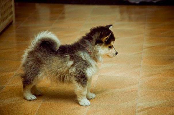 Fantásticos-cruzamentos-entre-raças-de-cães-Blog-Animal (17)