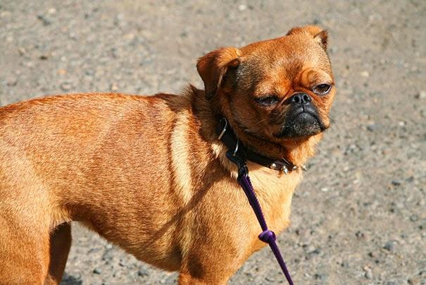 Fantásticos-cruzamentos-entre-raças-de-cães-Blog-Animal (19)