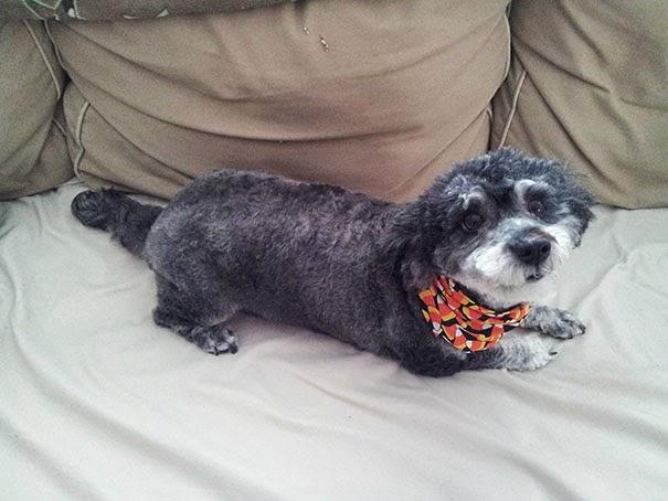 Fantásticos-cruzamentos-entre-raças-de-cães-Blog-Animal (2)