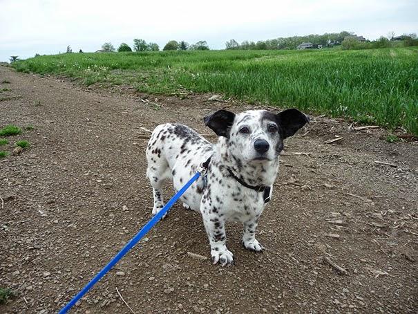 Fantásticos-cruzamentos-entre-raças-de-cães-Blog-Animal (20)