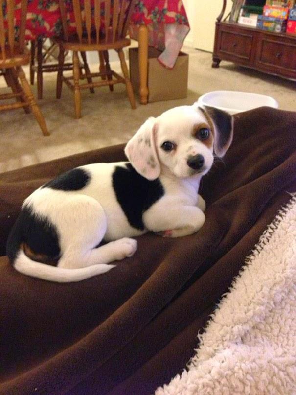 Fantásticos-cruzamentos-entre-raças-de-cães-Blog-Animal (21)