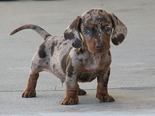 Fantásticos-cruzamentos-entre-raças-de-cães-Blog-Animal (22)