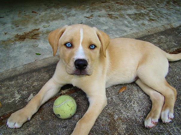 Fantásticos-cruzamentos-entre-raças-de-cães-Blog-Animal (23)