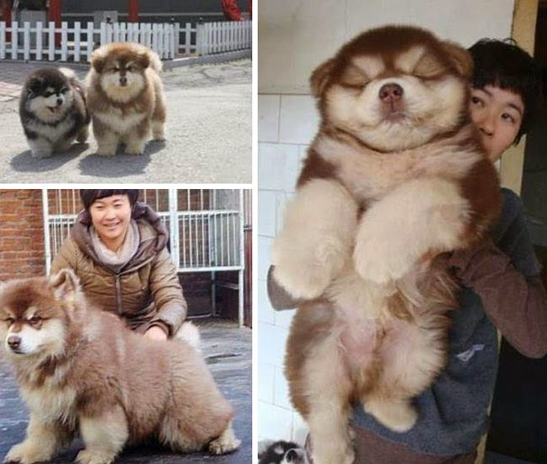 Fantásticos-cruzamentos-entre-raças-de-cães-Blog-Animal (4)