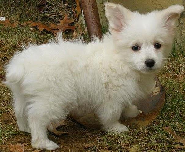 Fantásticos-cruzamentos-entre-raças-de-cães-Blog-Animal (5)