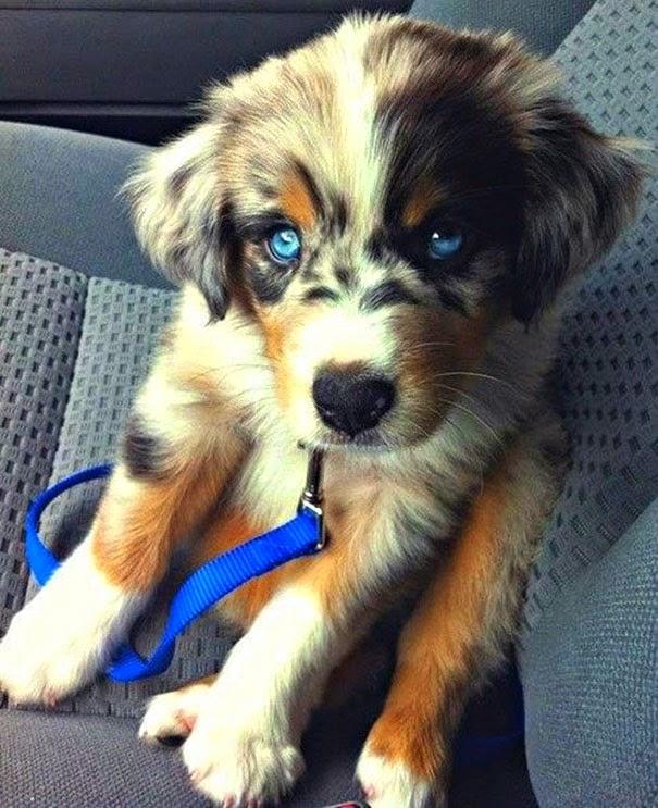 Fantásticos-cruzamentos-entre-raças-de-cães-Blog-Animal (8)