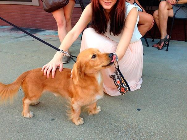 Fantásticos-cruzamentos-entre-raças-de-cães-Blog-Animal (9)