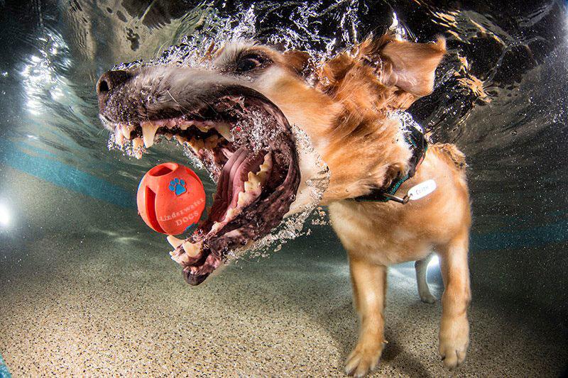 Fotos de cães buscando bolas debaixo d'água (2)