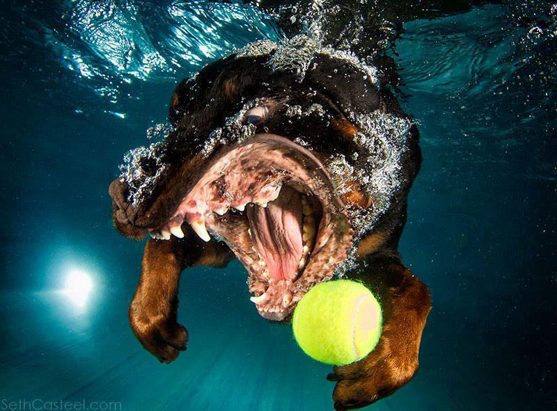 Fotos de cães buscando bolas debaixo d'água (6)