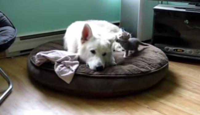 Gatinho adora perturbar o sono do cachorro