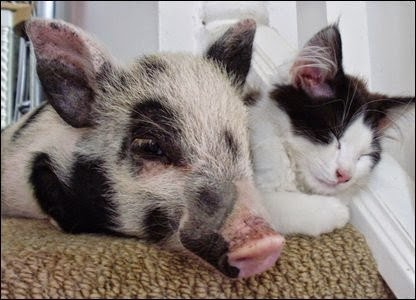 Gatos-que-pensão-que-são-outros-animais-Blog-Animal (8)