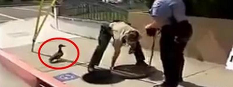 Mamãe Pata chama a atenção dos Policiais para salvar seus Patinhos