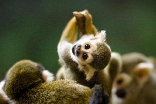 Os-macaquinhos-mais-fofos-e-adoráveis-do-mundo (10)