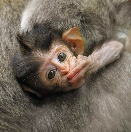 Os-macaquinhos-mais-fofos-e-adoráveis-do-mundo (12)