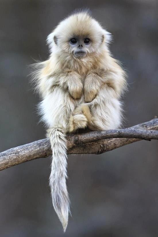 Os-macaquinhos-mais-fofos-e-adoráveis-do-mundo (14)