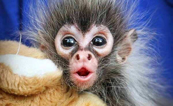 Os-macaquinhos-mais-fofos-e-adoráveis-do-mundo (18)
