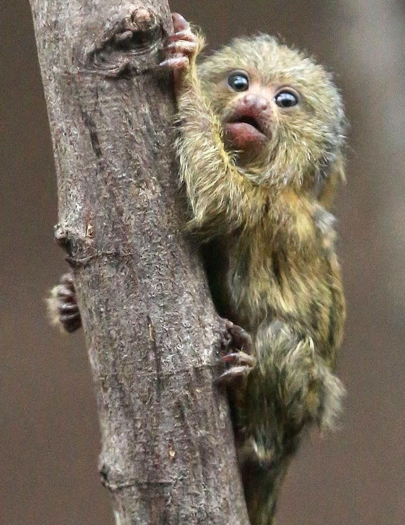 Os-macaquinhos-mais-fofos-e-adoráveis-do-mundo (2)