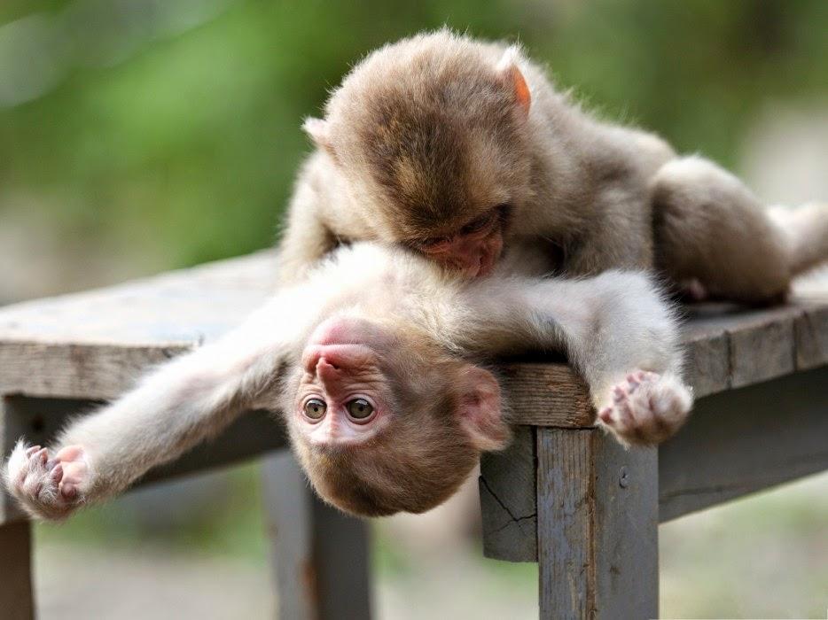 Os-macaquinhos-mais-fofos-e-adoráveis-do-mundo (9)