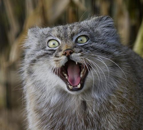 Raças de gatos Conheça o Gato de Pallas (12)