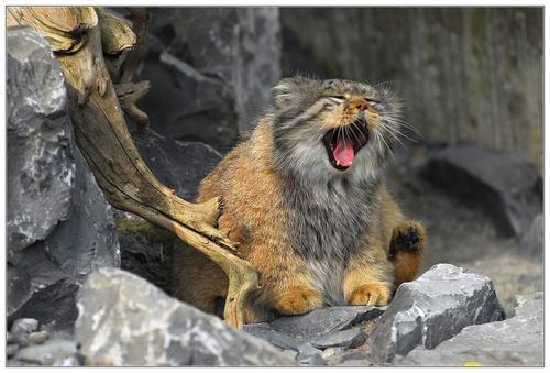 Raças de gatos Conheça o Gato de Pallas (13)