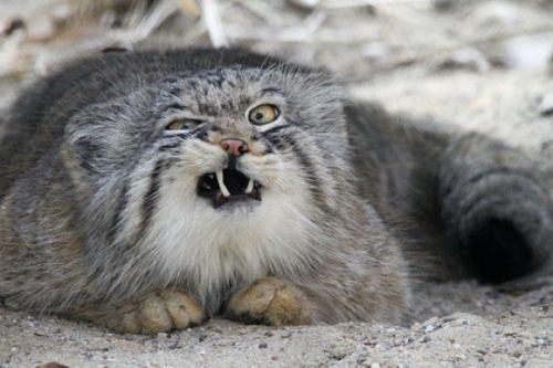 Raças de gatos Conheça o Gato de Pallas (2)