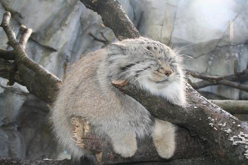 Raças de gatos Conheça o Gato de Pallas (4)