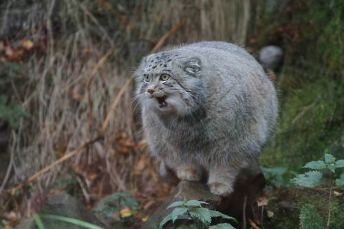 Raças de gatos Conheça o Gato de Pallas (5)