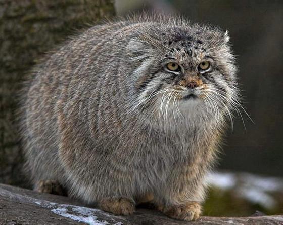 Raças de gatos Conheça o Gato de Pallas (7)