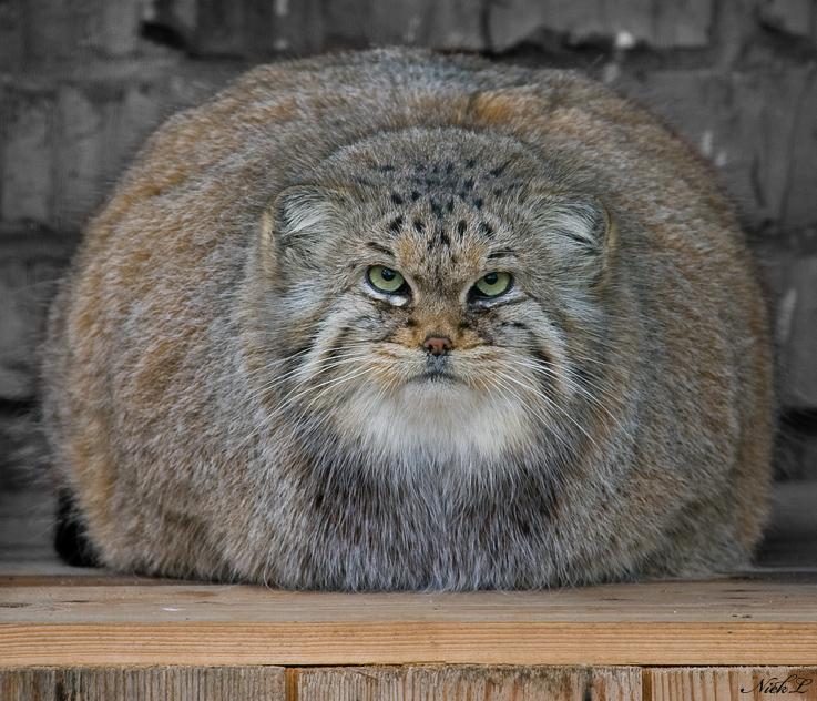 Raças de gatos Conheça o Gato de Pallas (8)