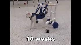 Gatinho deficiente aprende a andar
