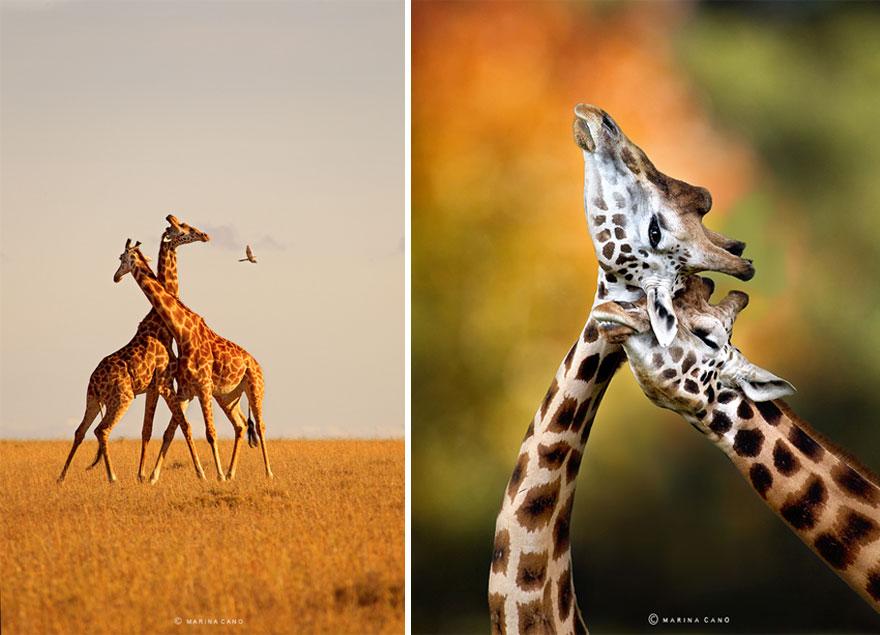 A majestosa beleza de animais selvagens capturados por Marina Cano (4)