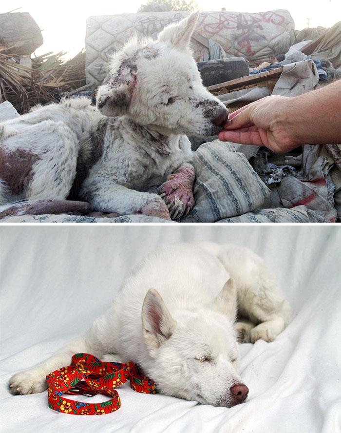 Cães resgatados antes e depois (10)