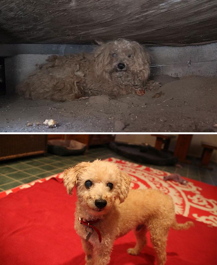 Cães resgatados antes e depois (14)